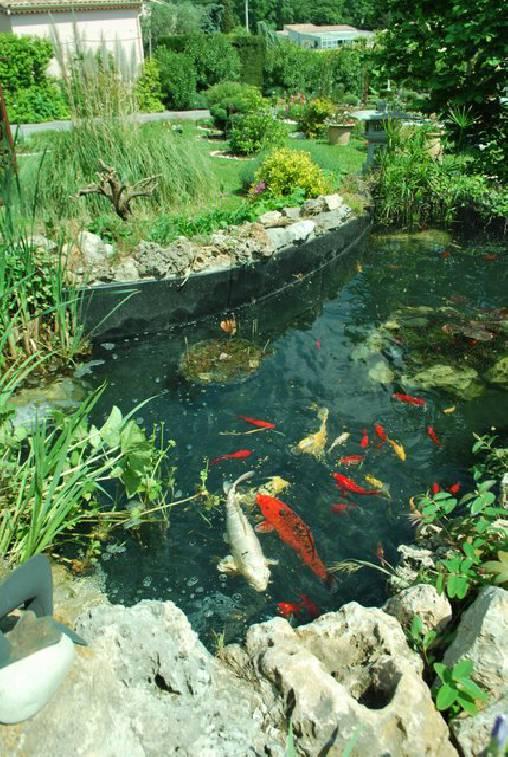 bassin carpes Koi
