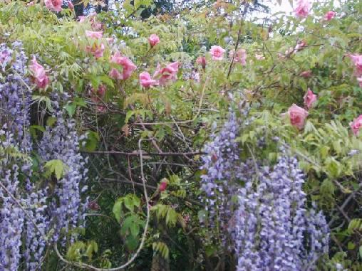 Roses et glycines