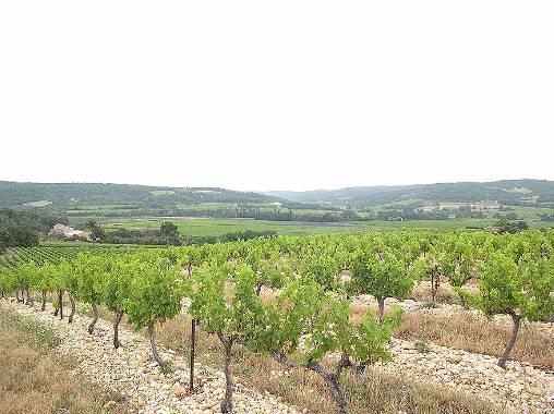 Chambre d'hote Vaucluse - En haut du Mas - Cépages des Côtes du Rhône et lav