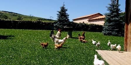Bergerie de Fuissé Nos poules avec le coq 'Monsieur Beau'