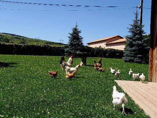 bed & breakfast Saône-et-Loire - Our chickens with rooster 'Monsieur Beau'