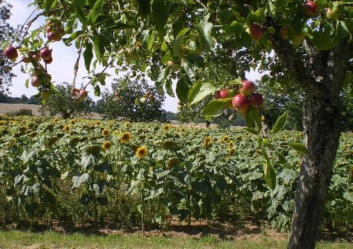 les pommiers du Pays d'Othe
