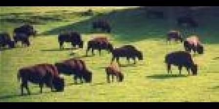 Rêve de bisons au muchedent