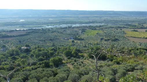 Champs d'oliviers - Lurs - en vallée de la Durance