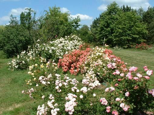 une allée de roses