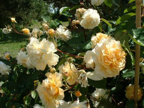 nous avons plus d'une centaine de variétés de roses