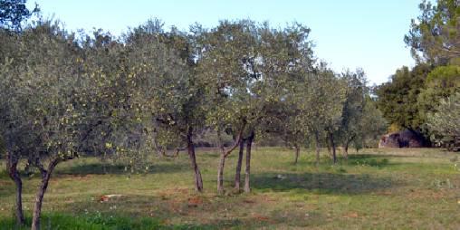 Parc avec 160 oliviers pour produire notre huile d'olive