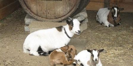 Veï Lou Quéri Notre famille de chèvres naines