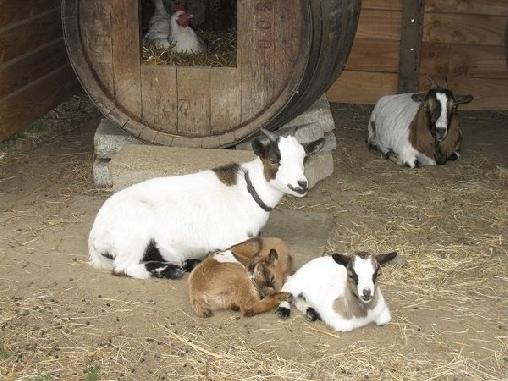 notre famille de chèvres naines