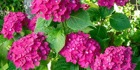 Le Fournil de Penn Ar Bed Hortensias dans le jardin