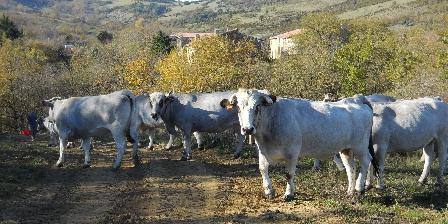 Chambre d'hotes Gîte de La Bastide > Les vaches