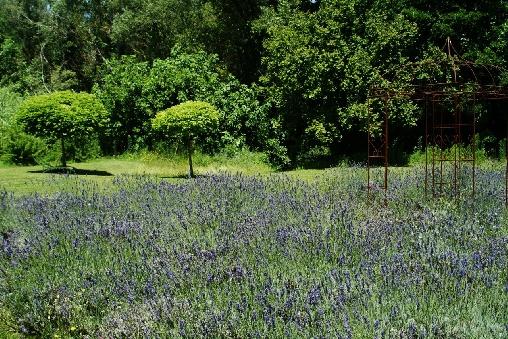 Notre champ de lavandes