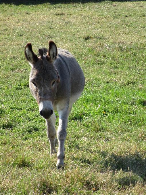 Cadichon, notre coquin d'âne