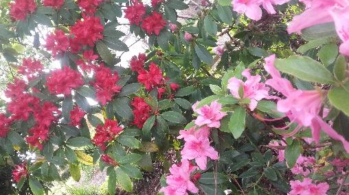 Les rhododendrons du jardin