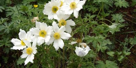 Le Chalet d'Amont Flower of the moutain
