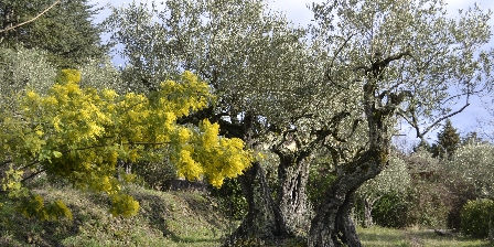 Les Mimosas La nature aux Gîtes du Mas Bourret