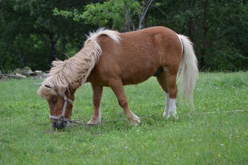 Voyou le poney shetland