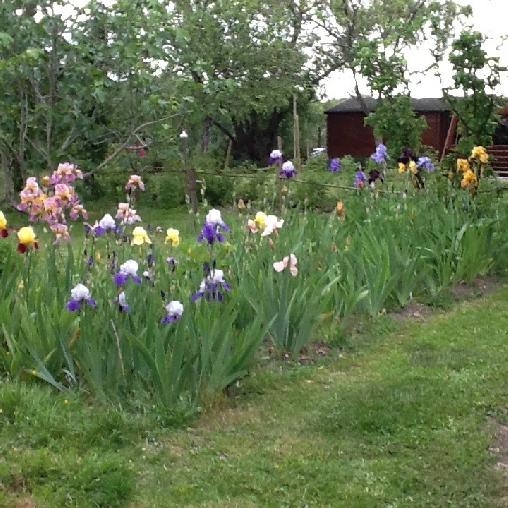 la collection d'iris