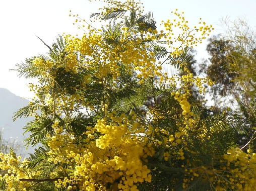 mimosa du jardin