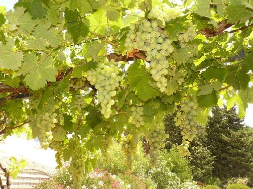 le raisin de notre pergola