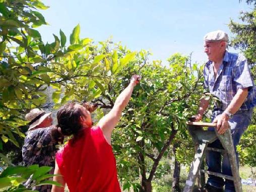 toute notre famille cultive les orangers bigaradiers