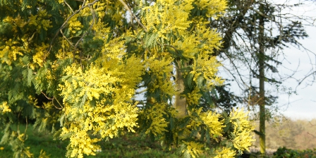 Maison Antony Mimosa en fleurs