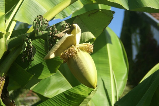 bed & breakfast Landes - Banana tree in bloom