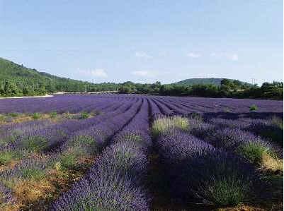 Chambre d'hote Alpes de Haute Provence - champs de lavande
