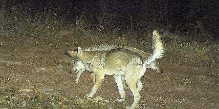 Chambre d'hotes La Maison des Hôtes > loups des Monges