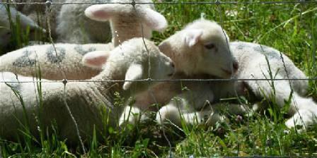 Mazet des Alpilles Les agneaux dans les prés