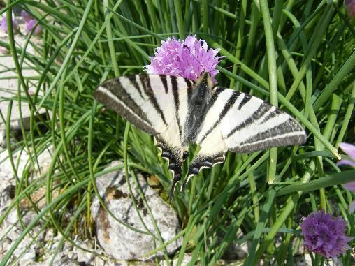 Papillon: le Flambé